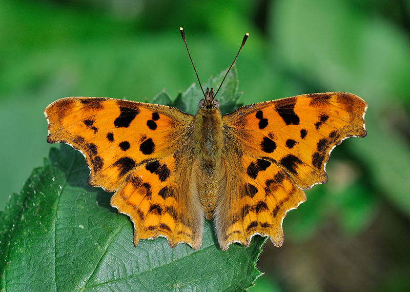 Comma butterflies have been increasing their range northwards from England © Quartl