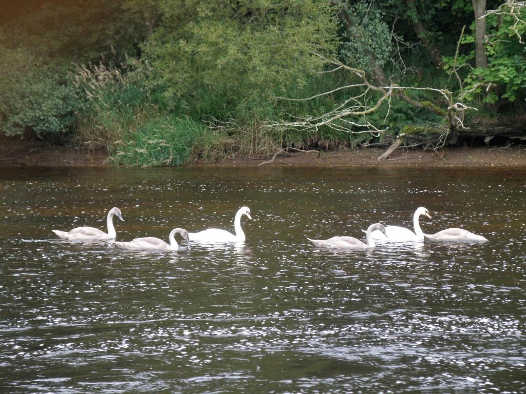 Mute swans regularly swim down to Bonnigton weir from  Hyndford Bridge © SWT