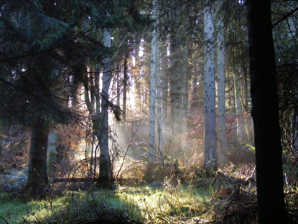 Sunlight through conifers © Scottish Wildlife Trust