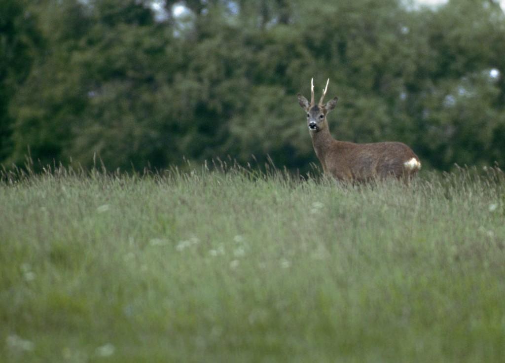 Male roe deer © Darin Smith