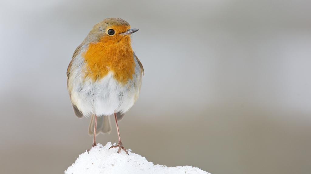 Robin in snow © Richard Bowler