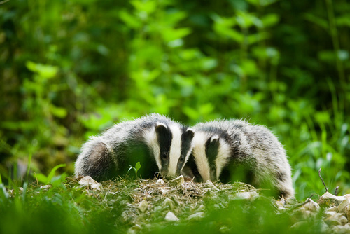European badger (Meles meles), cubs foraging in daylight, England, UK © Scottish Wildlife Trust