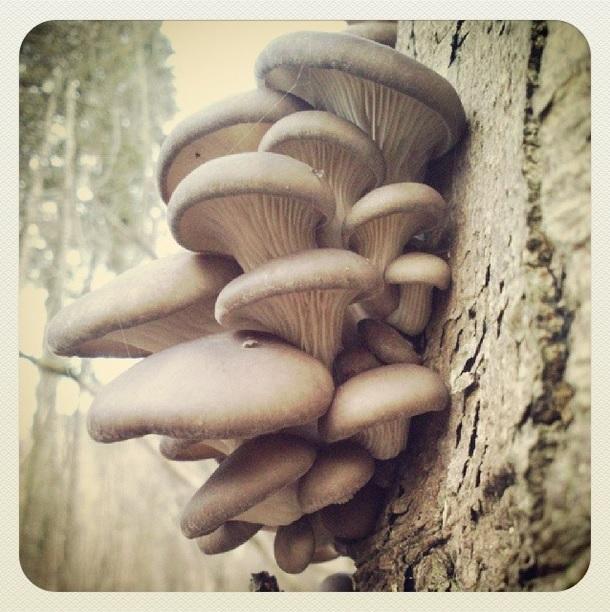 Oyster mushroom on sycamore © Laura Preston