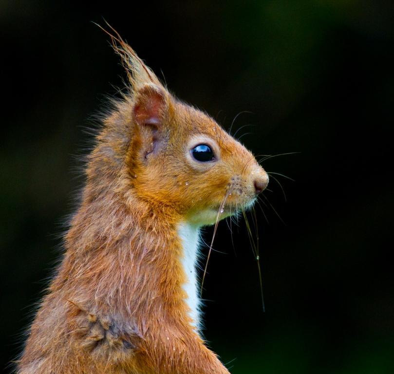 Red squirrel - © Steve Gardner