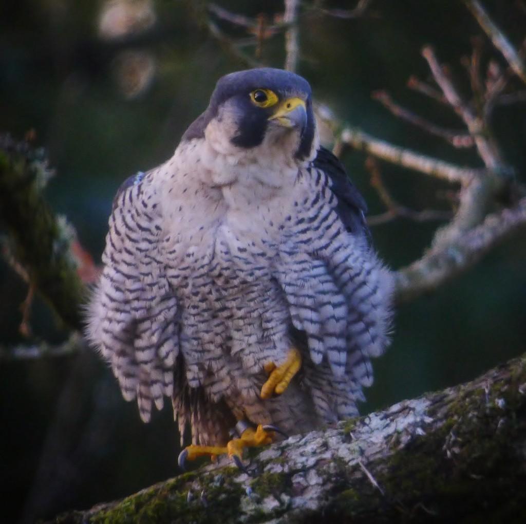 Falcon Feb 2014 (c) Steve Kane