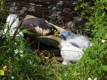 Falcon feeding chick 2012 © Chas Moonie