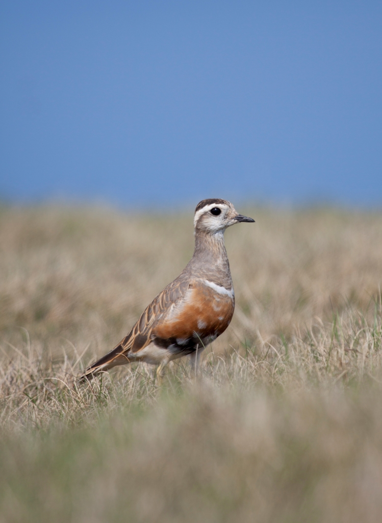 Dotterel (c) Tom Marshall
