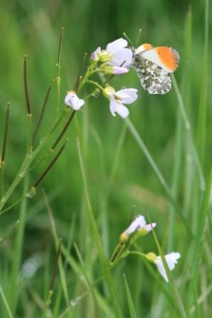 Orange tip on a cuckoo flower © Vicky Nall