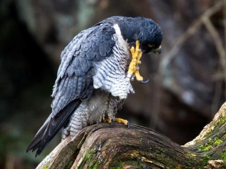 Falcon scratching her head © Chas Moonie