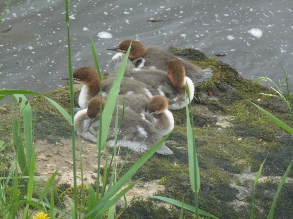 Goosander Chicks (c) Laura Preston