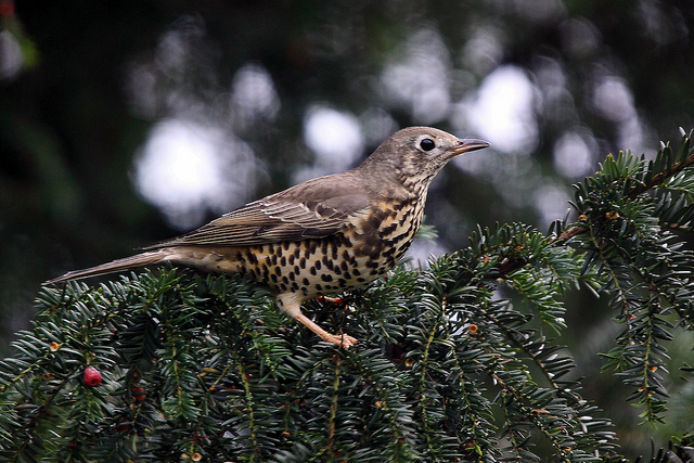 Mistle thrush (c) Airwolfhound