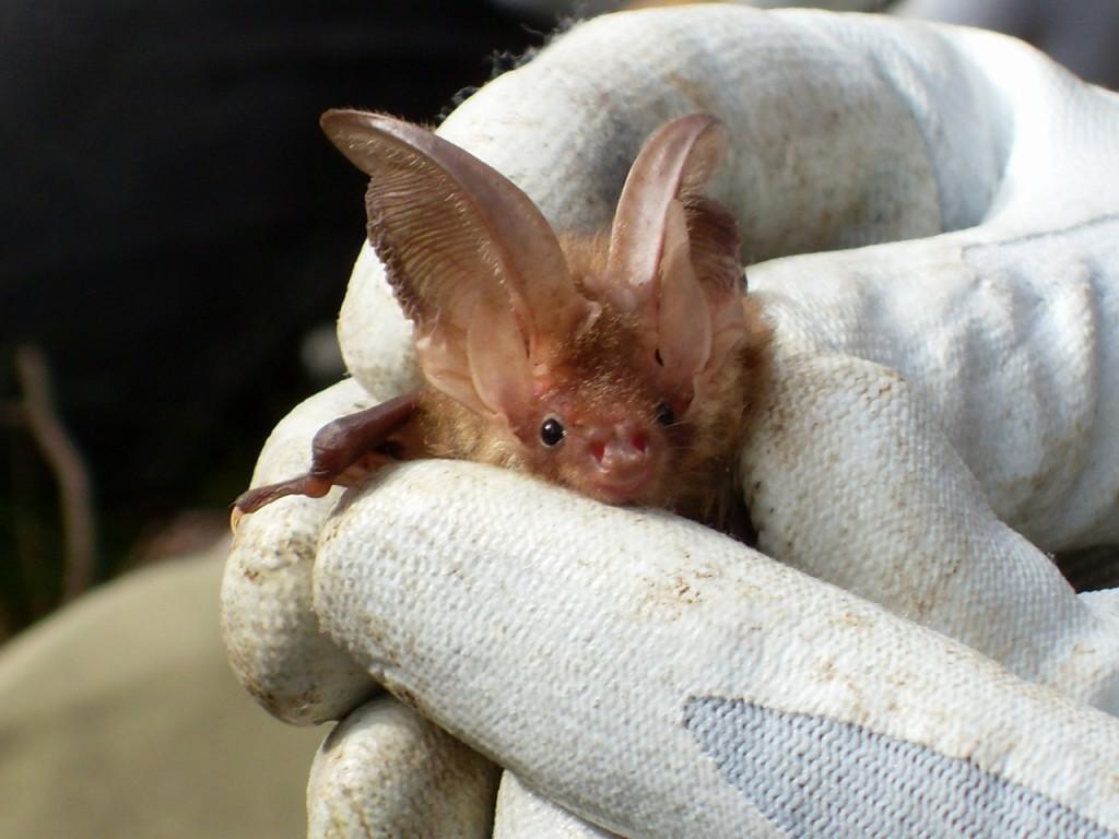 Brown long-eared bat (c) Laura Preston