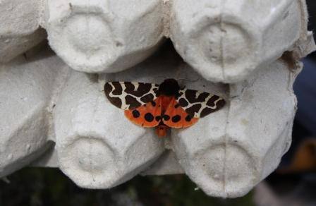 Garden Tiger Moth from the moth trap at Cander Moss © Alex Kekewich