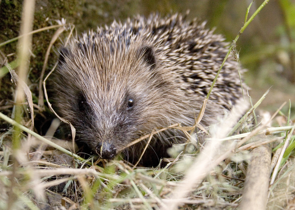 Hedgehog (c) Mark Fletcher