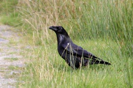 The common raven (Corvus corax) © Margaret Holland