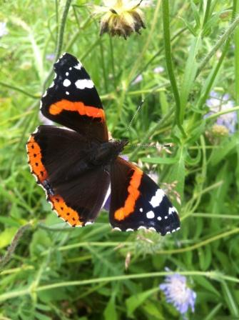 A beautiful red admiral butterfly from our tree nursery © Alex Kekewich