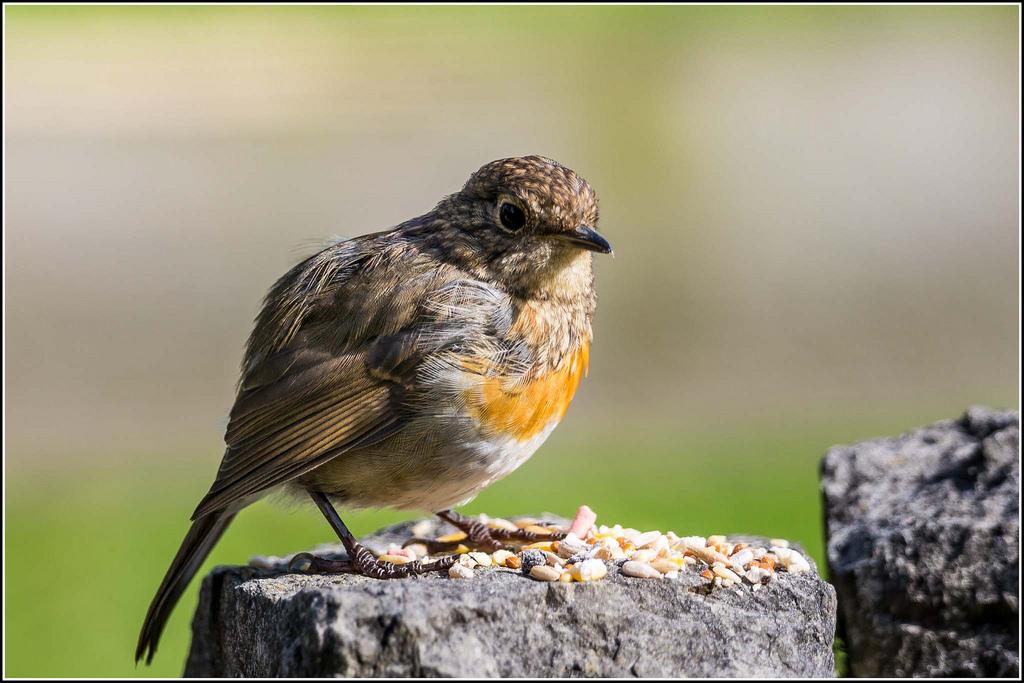 Juvenile robin (c) Smudge 9000