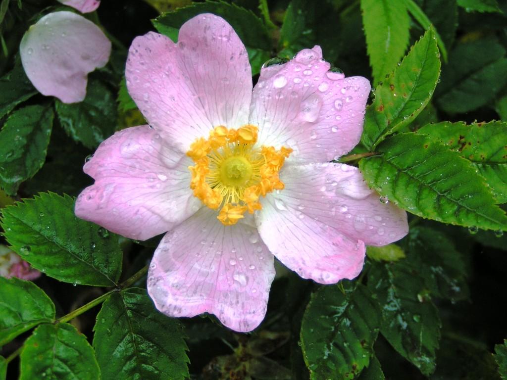 Dog Rose (c) Richard Burkmarr