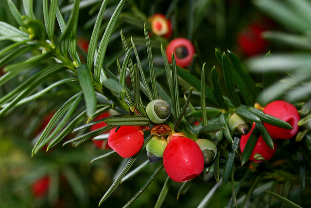 Yew berries (c)Liz West