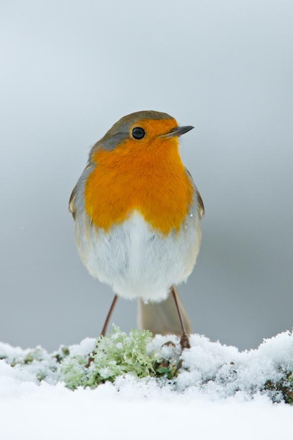 Robin in snow (c) Richard Bowler