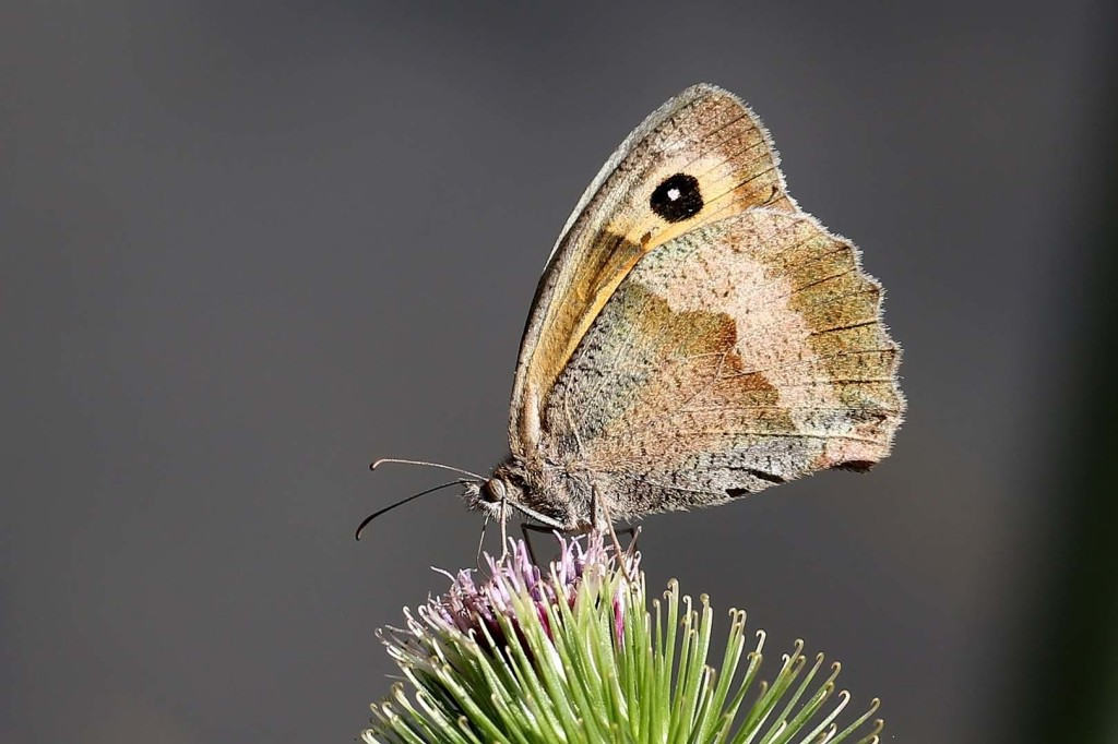 Small heath butterfly (c) Margaret Holland