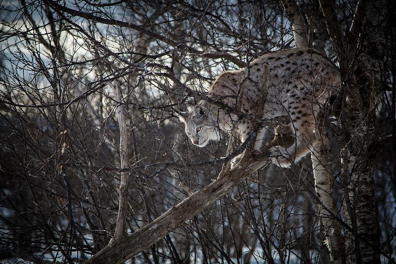 Eurasian Lynx (c) Tom Bech