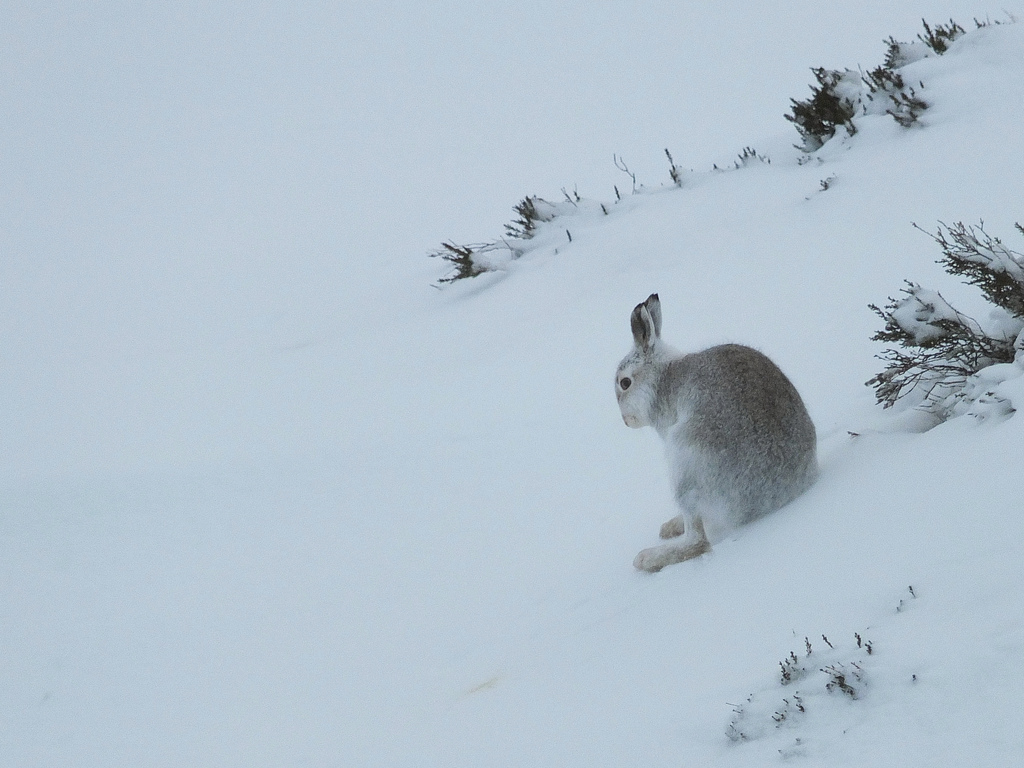 Mountain Hare (c) Stuart Anthony