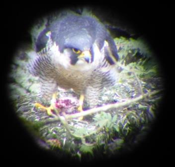 Falcon feeding (c) Catarina Fonseca