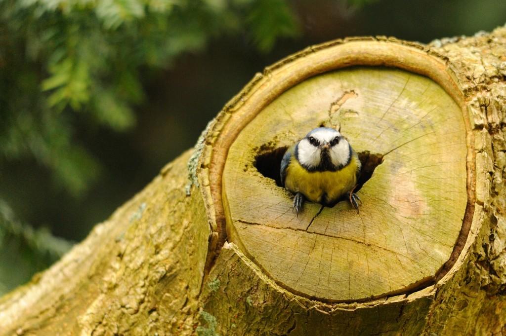 Blue tit nest (c) Amy Lewis