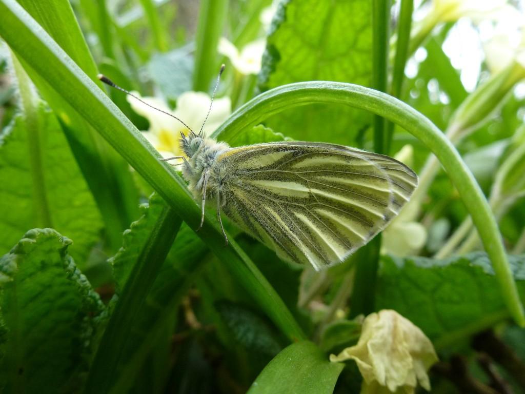 Green Veined White Butterfly (c) Laura Preston