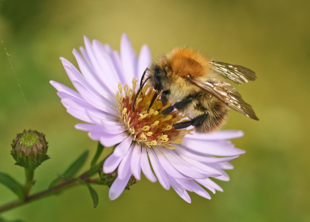 Common Carder Bee (c) Rachel Scopes