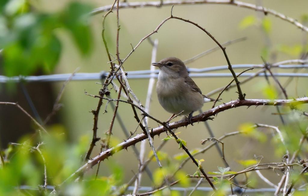 Garden Warbler (c) Tom Lee
