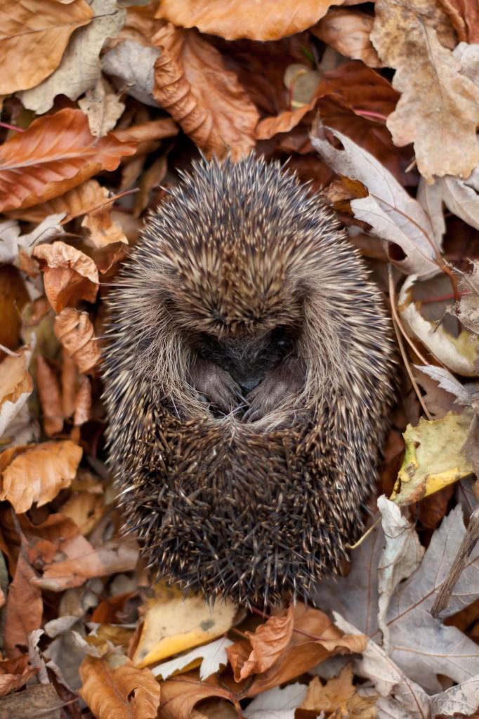 Hedgehog (c) Tom Marshall