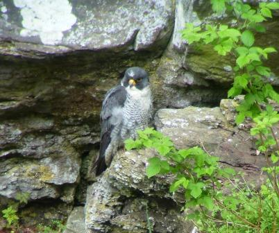 Scruffy tiercel (c) Cat Fonseca