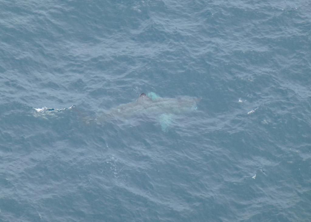 Basking Shark (c) Laura Preston