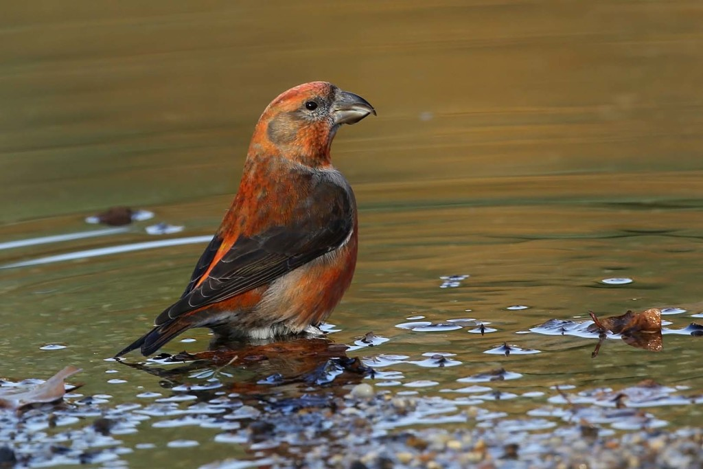 Crossbill_c_Margaret_Holland