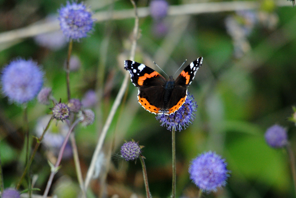 Red Admiral (c) Amy Lewis