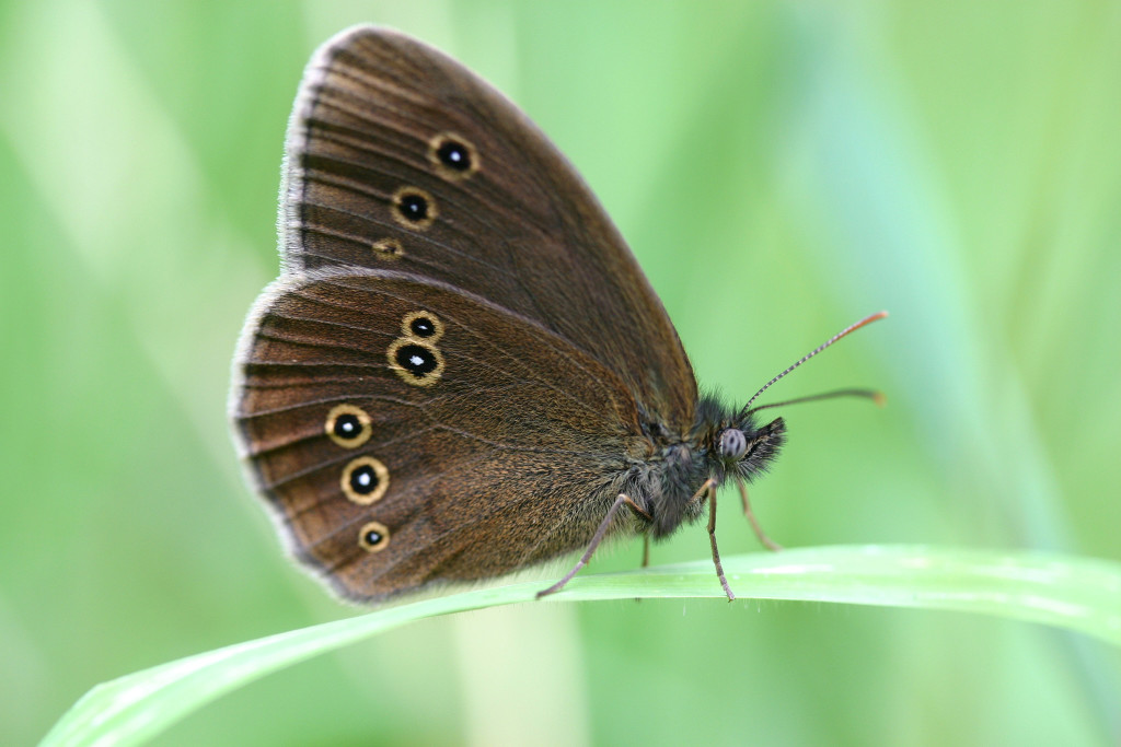 Ringlet (c) Jim Higham
