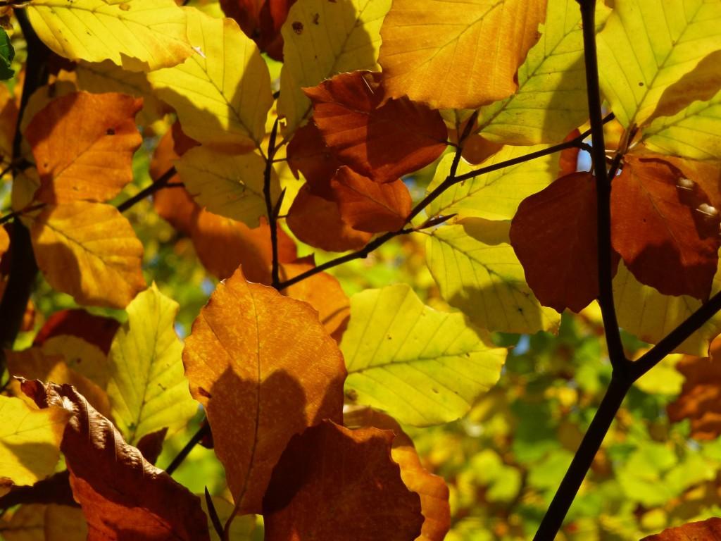 Beech leaves (c) Laura Preston