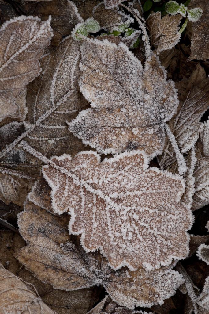 Frosty leaves (c) Paul Hobson