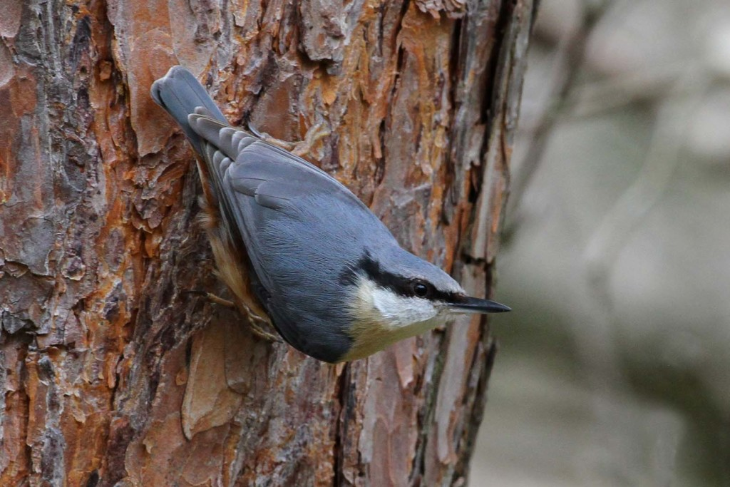 Nuthatch (c) Margaret Holland