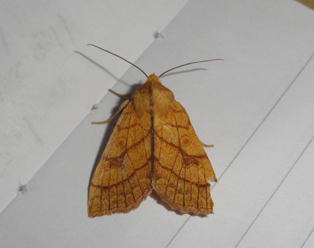 Orange Sallow (C) Adam Jones