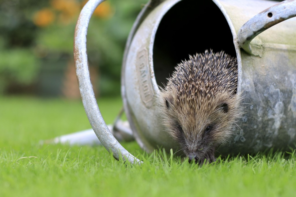 Hedgehog (c) Tom Marshall