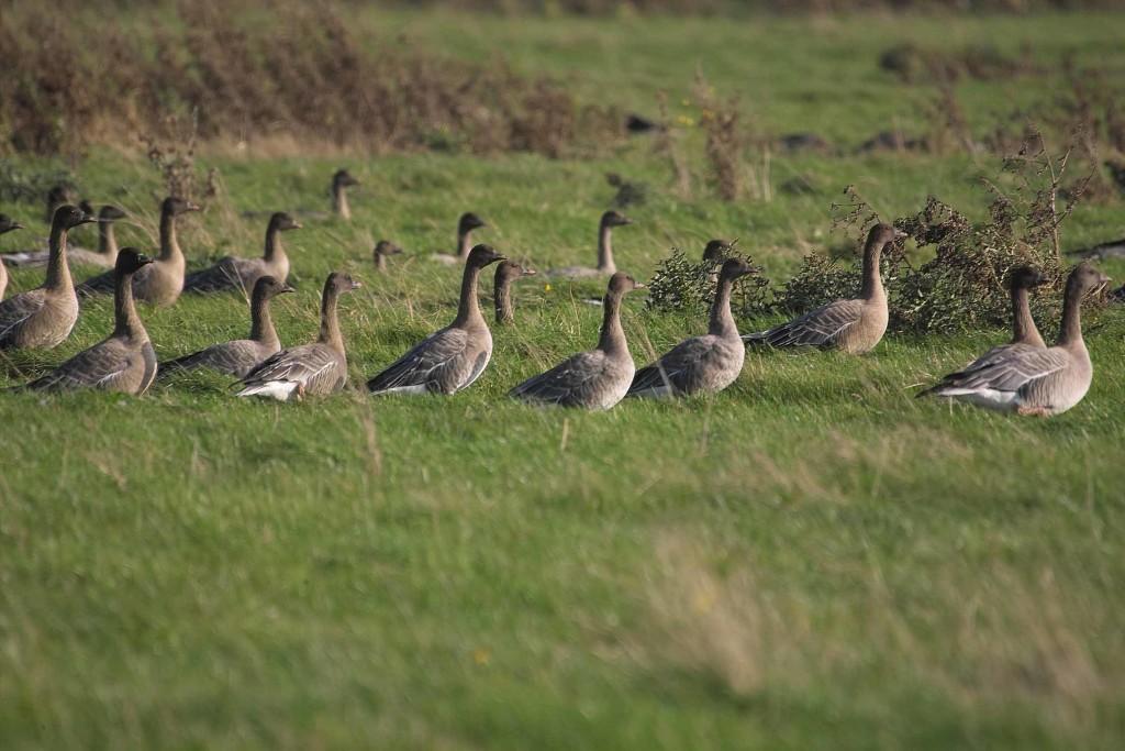Pink-footed geese (c) Derek Moore