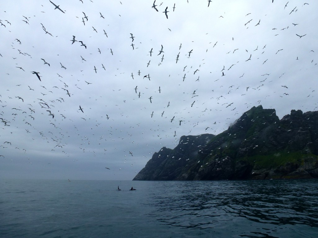 Boreray, orca whales and gannets (c) Laura Preston