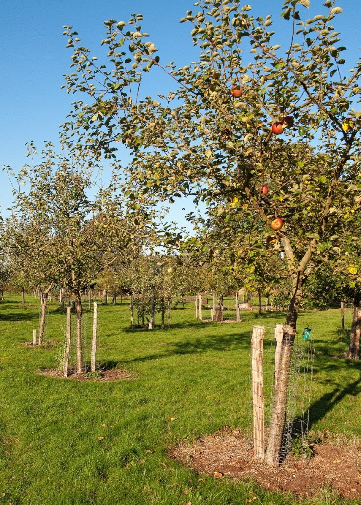 A Winter Pearmain apple tree in the Community Orchard at Hartley (c) Angus Kirk