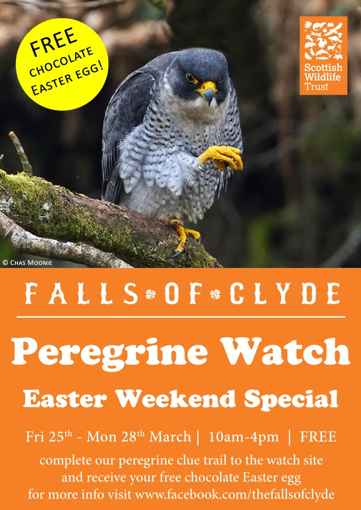 Peregrine-Watch-Easter-Weekend-Special-A4