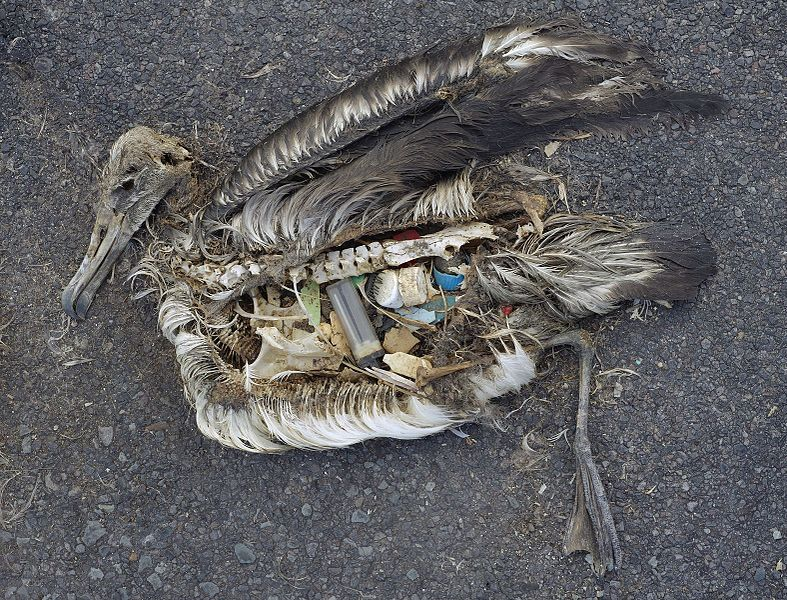 The stomach contents of a dead albatross chick including plastic marine debris fed the chick by its parents (cc) Chris Jordan