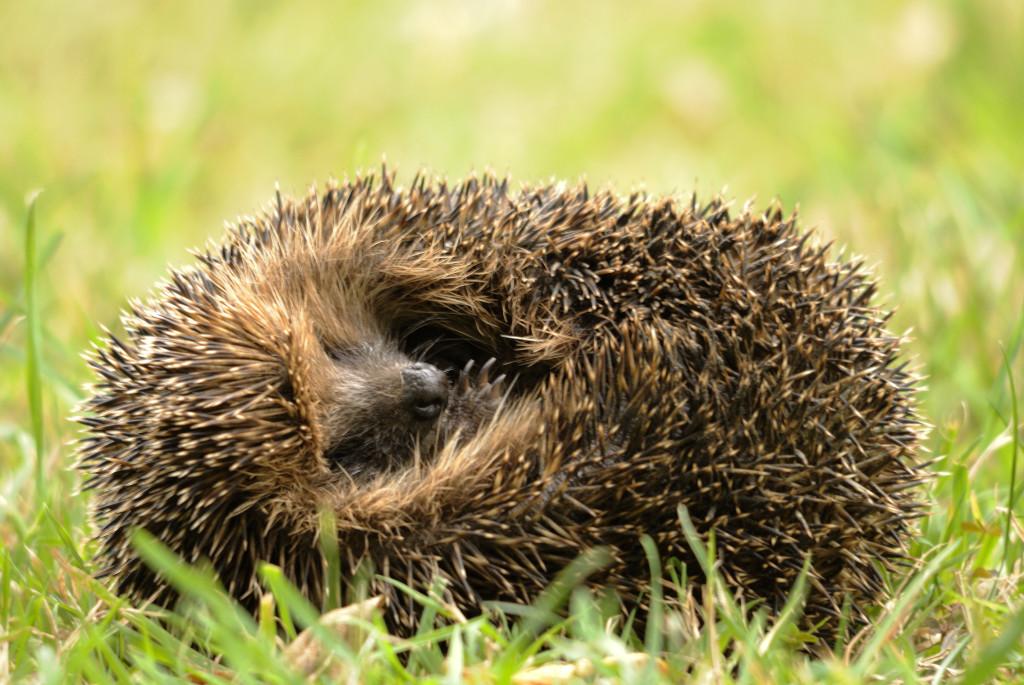 Curled hedgehog (c) Amy Lewis