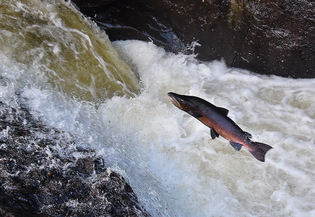 Leaping salmon (c) Malcolm Muir